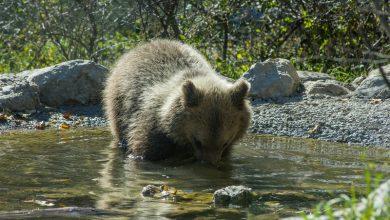 Photo of WWF cerca volontari per campi a tutela dell'orso marsicano