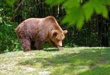 Photo of Auto insegue 2 orsi in Val Rendena. Insorgono gli ambientalisti