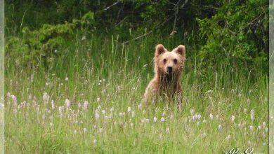 Photo of Le tenere immagini di un cucciolo di orso marsicano a spasso nel PNALM