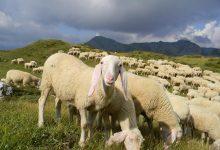 """Photo of Riparte il progetto """"Pasturs"""". Volontari in alpeggio nel rispetto delle norme anti Covid"""