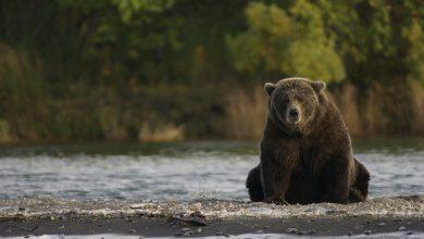 Photo of Alaska. Da Trump ai cacciatori licenza di uccidere orsi, lupi e i loro cuccioli nei parchi nazionali