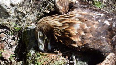 Photo of Aquila reale uccisa in Alto Adige. 1000 euro di ricompensa a chi identifichi il colpevole