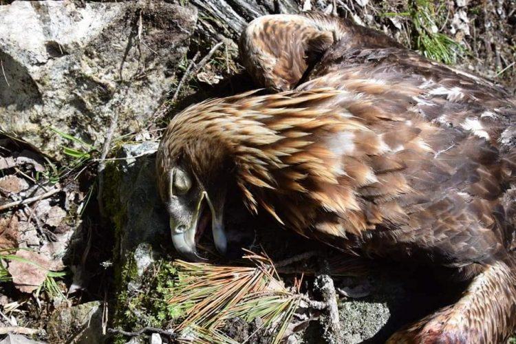 Aquila reale uccisa in Alto Adige. 1000 euro di ricompensa a chi identifichi il colpevole