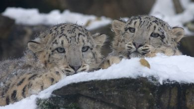 Photo of Mamma leopardo delle nevi aiuta i suoi cuccioli a traversare un torrente