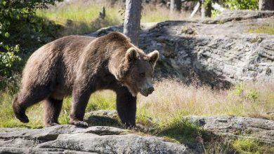 Photo of L'orso M49-Papillon fugge per la seconda volta