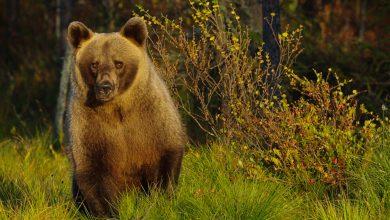 Photo of Il veterinario Alessandro De Guelmi, M49 e gli altri orsi del Trentino