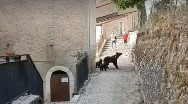orsa, cuccioli, pnalm, abruzzo