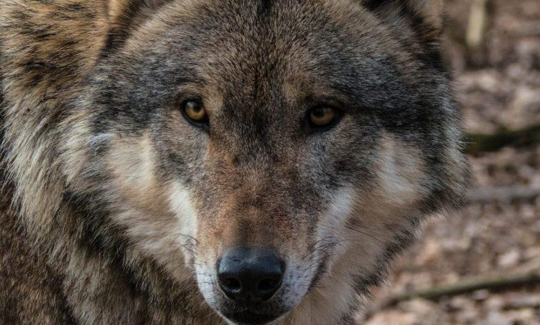 lupi, lega, legambiente