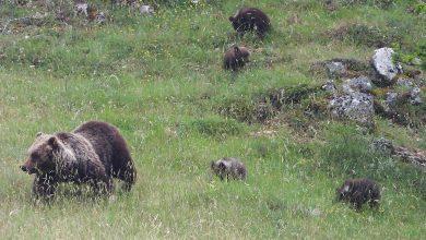 Photo of Nel PNALM si recuperano i frutteti abbandonati per l'orsa Amarena e i suoi cuccioli