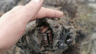 Photo of Mummia di orso di oltre 20.000 anni emerge dal permafrost