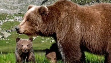 Photo of L'orsa JJ4 è libera. Il TAR di Trento vieta alla Provincia di catturarla o ucciderla