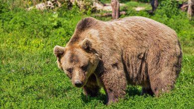 Photo of Trentino. Fugatti revoca ordinanza di cattura degli orsi