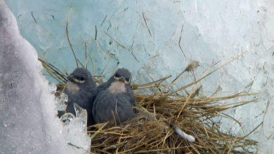 Photo of Il diuca dalle ali bianche, l'uccello che nidifica nei ghiacciai delle Ande