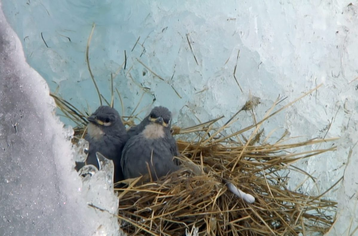 uccello, ande, ghiacciai