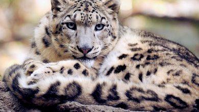 """Photo of Giornata internazionale del leopardo delle nevi, un """"grande gatto"""" da salvare"""
