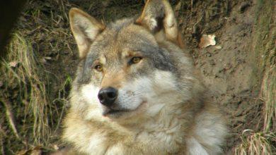 Photo of Il lupo torna nel Parco Naturale Adamello Brenta