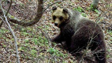 Photo of Gli orsi sanno usare le mani?