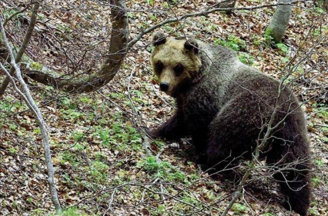 peppina, orsi, parco della majella