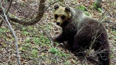 Photo of Il ritorno dell'orsa Peppina nel Parco della Majella