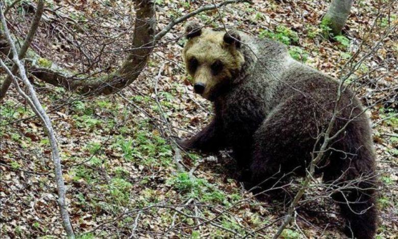 parco della majella, orsa, orsa peppina