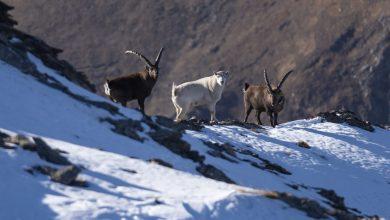 Photo of Stambecco alpino, i cittadini al servizio della ricerca