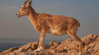 Photo of Turchia. Le capre di montagna sono sacre, revocato permesso di caccia