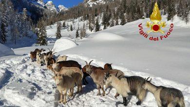 Photo of Capre e mucche isolate dalla neve. Al foraggio ci pensa l'elicottero dei Vigili del Fuoco