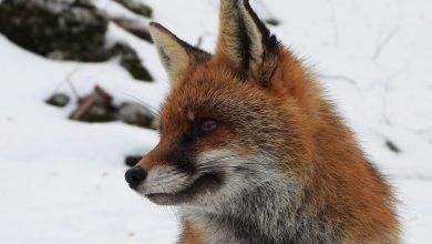 """Photo of """"Treorecchie"""", una volpe speciale tra le nevi d'Appennino"""