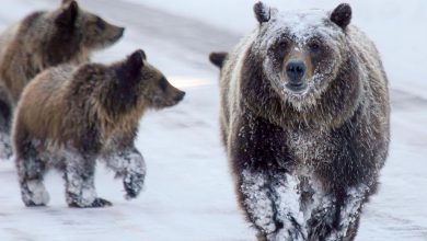 """Photo of Mamma orsa e 4 cuccioli ripresi nella neve. PNALM: """"Non è la nostra Amarena"""""""