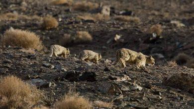 Photo of Mamma leopardo delle nevi a spasso con i cuccioli