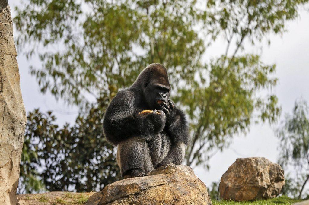 virunga, gorilla