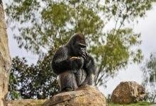 Photo of Parco Nazionale Virunga. Uccisi 6 giovani ranger, difensori dei gorilla di montagna