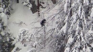 Photo of Trentino. Tanta neve e freddo ma gli orsi non vanno in letargo