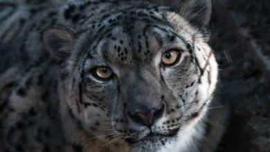 """Photo of """"Ghost of the Mountains"""". Sulle tracce del leopardo delle nevi"""