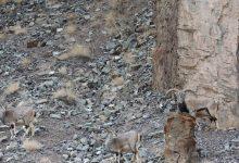Photo of Il leopardo delle nevi c'è, ma non si vede! Riuscite a trovarlo?