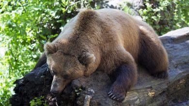 Photo of Marzo, tempo di risveglio per gli orsi. In Trentino aumentano gli avvistamenti