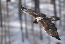 Photo of Alpi Marittime. Il Parco invita gli escursionisti a segnalare gli avvoltoi