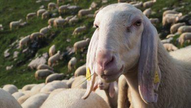 Photo of Progetto Pasturs. Cercasi 60 volontari per una estate in alpeggio