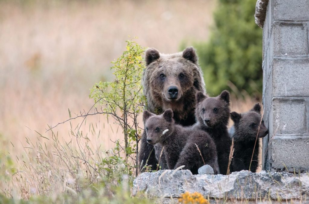 orso marsicano, orsa amarena, sirente velino