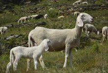 """Photo of Alpi Cozie. 250 pecore assunte come """"operatori ecologici"""" in quota"""