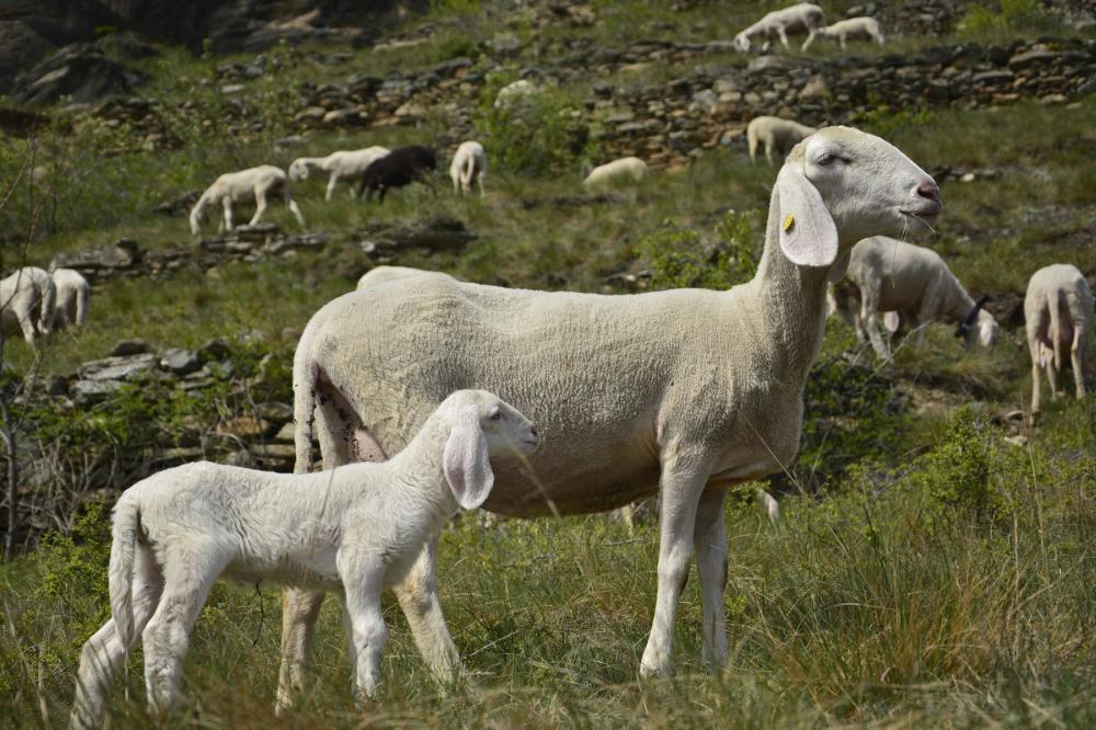 pecore, alpi cozie