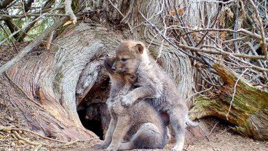 Photo of La tenerezza dei primi ululati di un cucciolo di lupo