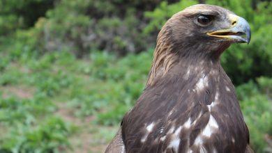Photo of Droni nel Parco delle Apuane: divieto di voli non autorizzati, a rischio l'aquila reale