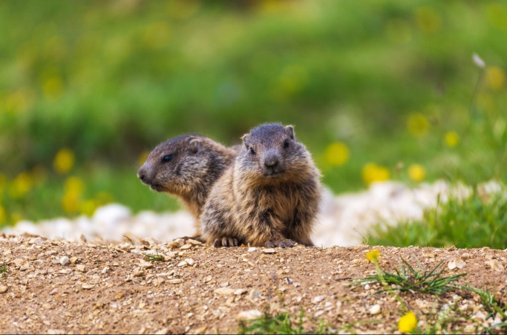 marmotta, fauna selvatica