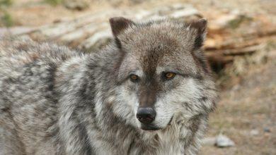 Photo of I lupi possono modificare i fiumi?