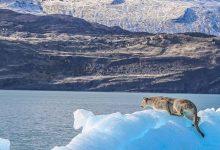 puma, iceberg, patagonia