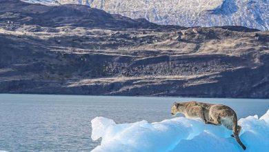 Photo of Patagonia, sull'iceberg alla deriva compare un puma