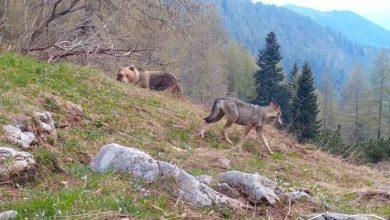 Photo of Dal Trentino l'incredibile video di un incontro tra orso e lupo