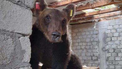 Photo of Ultime notizie da Amarena, Juan Carrito e gli altri orsi