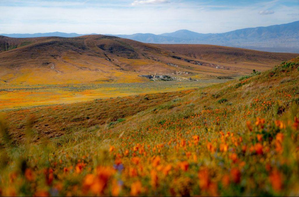 valli, fiori, antelope valley